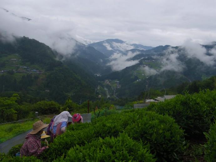 祖谷の崖地に広がる茶畑