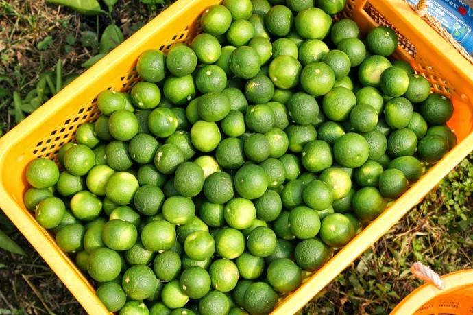 お昼ごはんを挟んでどっさり20kg収穫!黄色コンテナに映える緑。