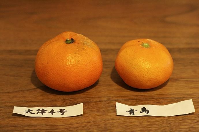 大津4号と青島。生産者の白井さんからは、おいしいみかんの見分け方も