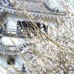 ただいま見頃、梅の高知城。