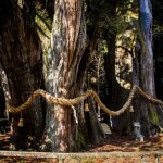 《高知》四国の最長老、大豊町杉の大杉。