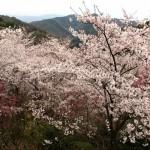 嗚呼絶景四国哉-19.<br>道後平野を眼下に見下ろす、桜スポット