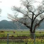 JR伊予石城駅、車窓の桜。