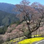 今が見ごろ!四国山地の女王、仁淀川町のひょうたん桜《高知》