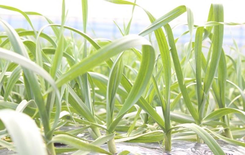 葉にんにくのタレ 畑