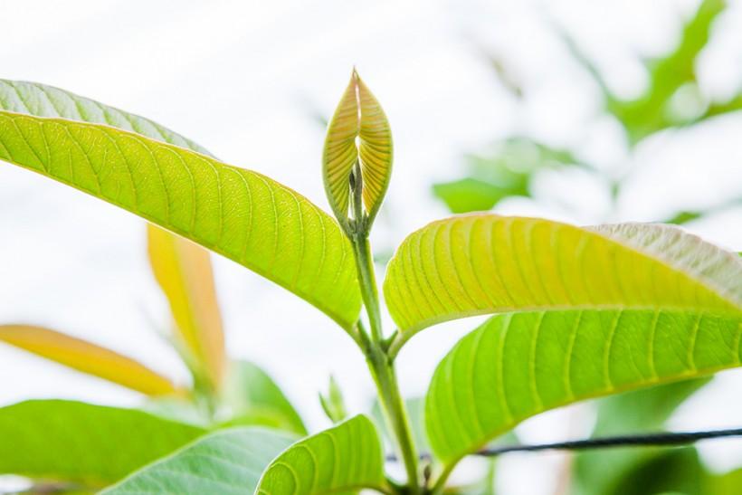 南国土佐の太陽を燦々と浴びて育つグァバの葉