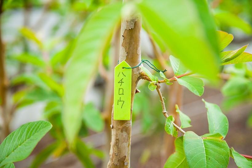 グァバの木は一本一本名前をつけて大切に育てられています。