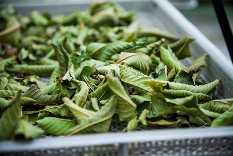 手作業で収穫したグァバ葉。さらに手作業で一枚一枚洗い、乾燥させてから原料にします。